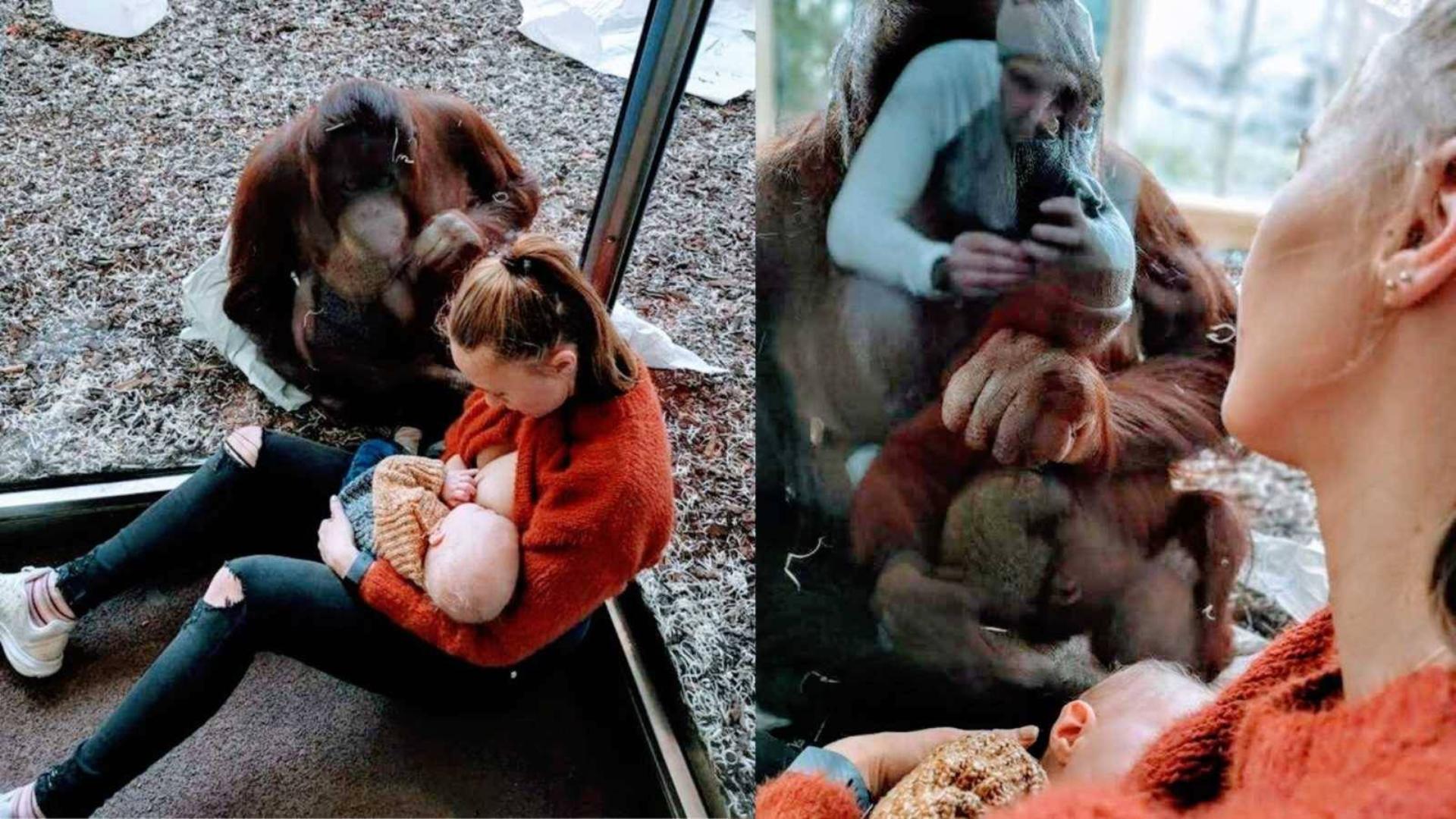 猩猩盯着人类母亲哺乳 知道真相后令人心疼