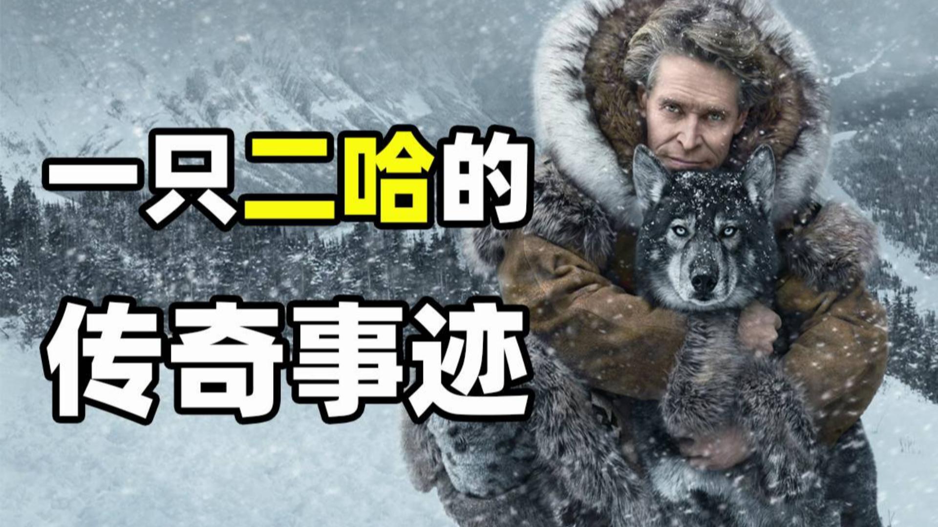 【九筒】传奇雪橇犬二哈拯救一个镇孩子的感人故事,真实事件改编《多哥》