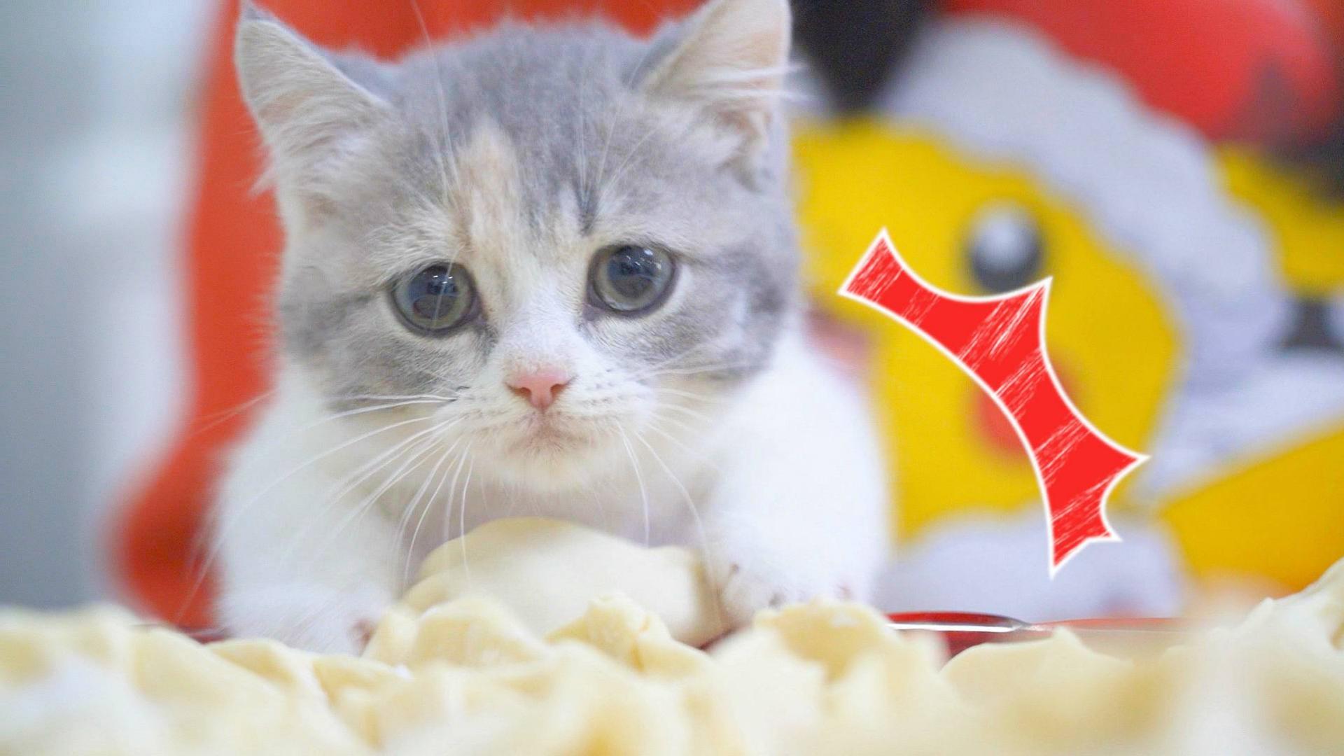 主人过年包饺子,小奶猫在旁边捣乱,还偷饺子吃!