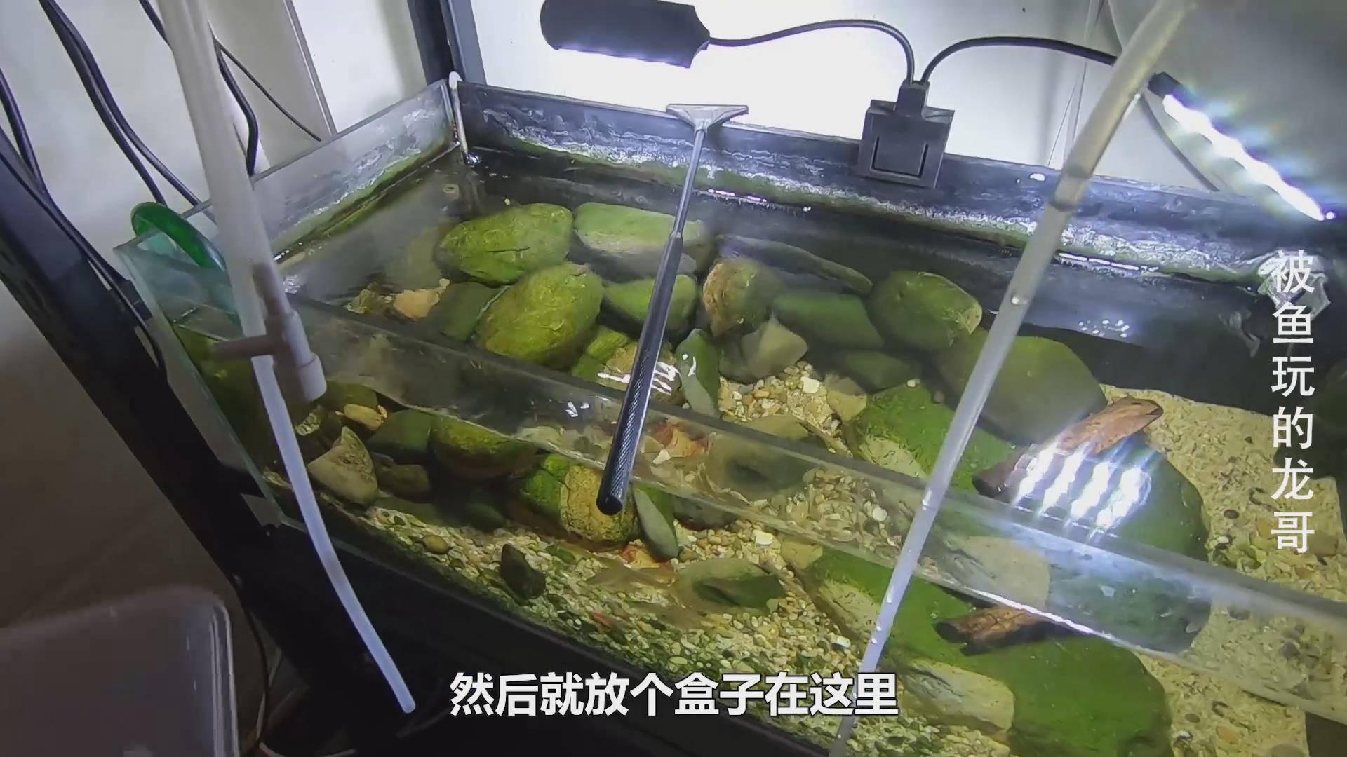 冰冻了一年多的丰年虾卵,这个神器孵化出无数小虾,小鱼抢着吃!