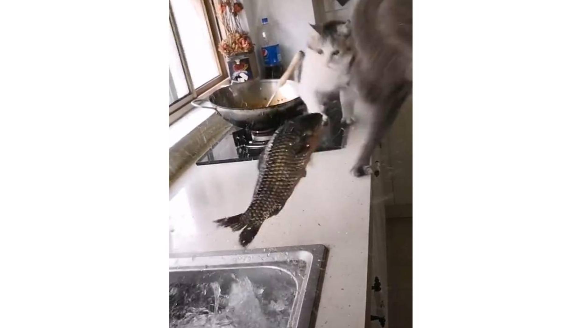 鲤鱼王使用了水溅跃——效果拔群!