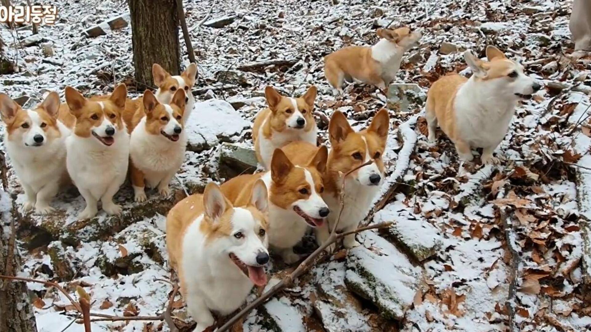 """10只小短腿""""矮狗""""柯基犬组团探险,柯基犬探险!"""