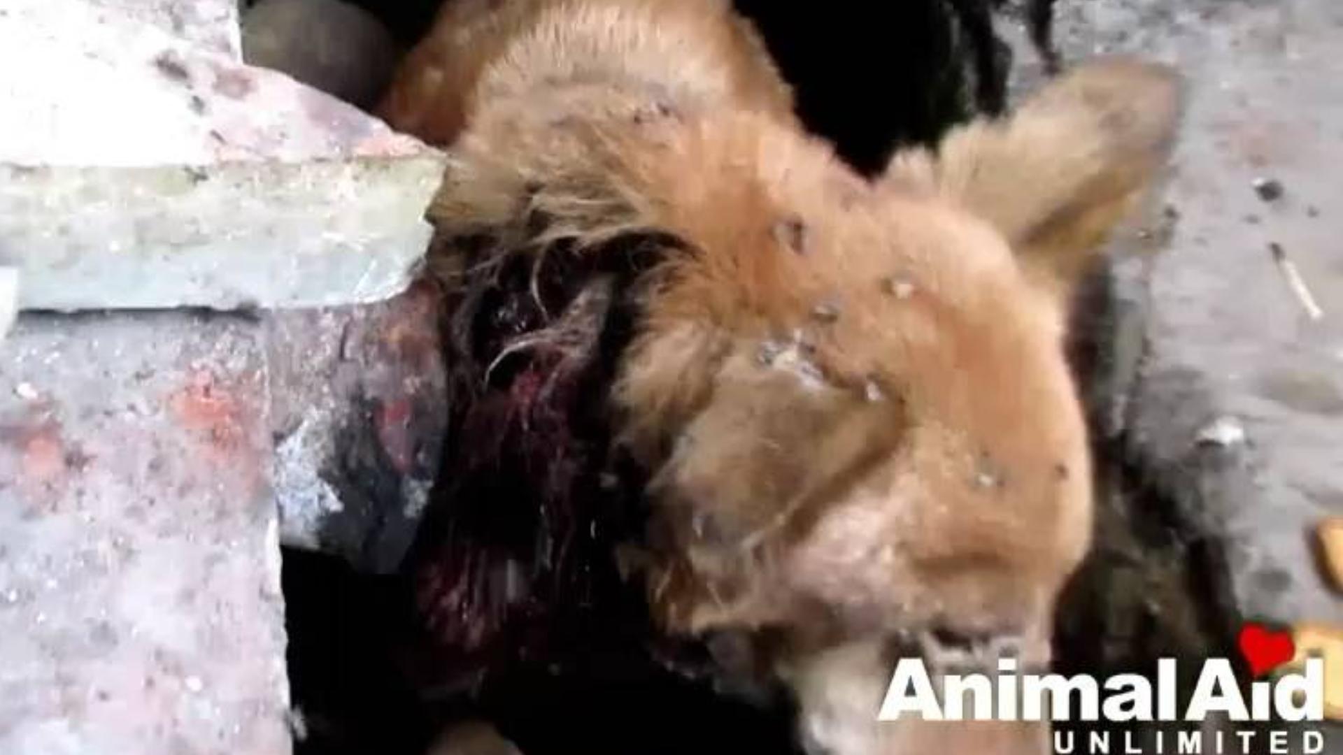 【泣血蝇虫】三哥拯救臭水沟奄奄一息伤口严重腐烂的狗狗