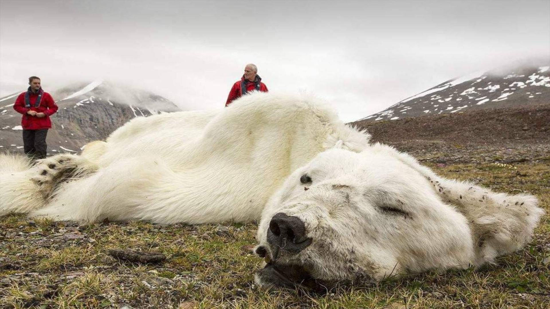 为什么给快要饿死的北极熊喂食,是犯法行为?