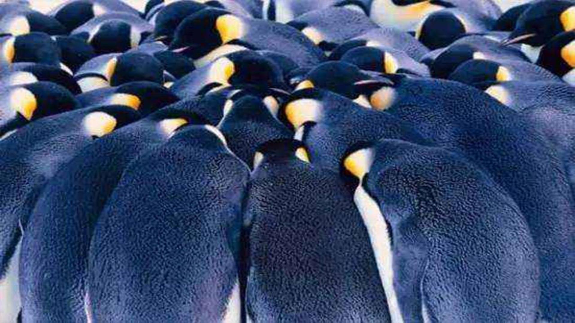企鹅抱团取暖时,最外层的企鹅会被冻死吗?