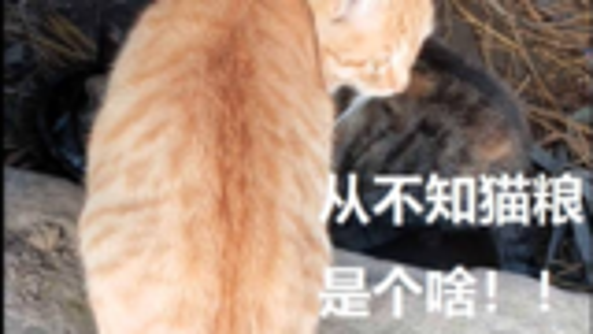 农村橘猫和狸花猫吃白米饭不挑食,等疫情结束再钓鱼你们吃,乖哦