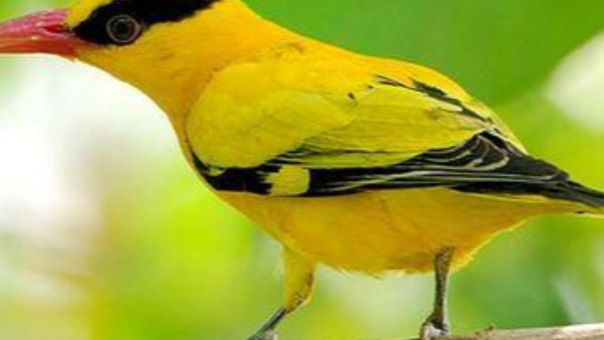 笼子上黄鹂鸟风姿飒爽