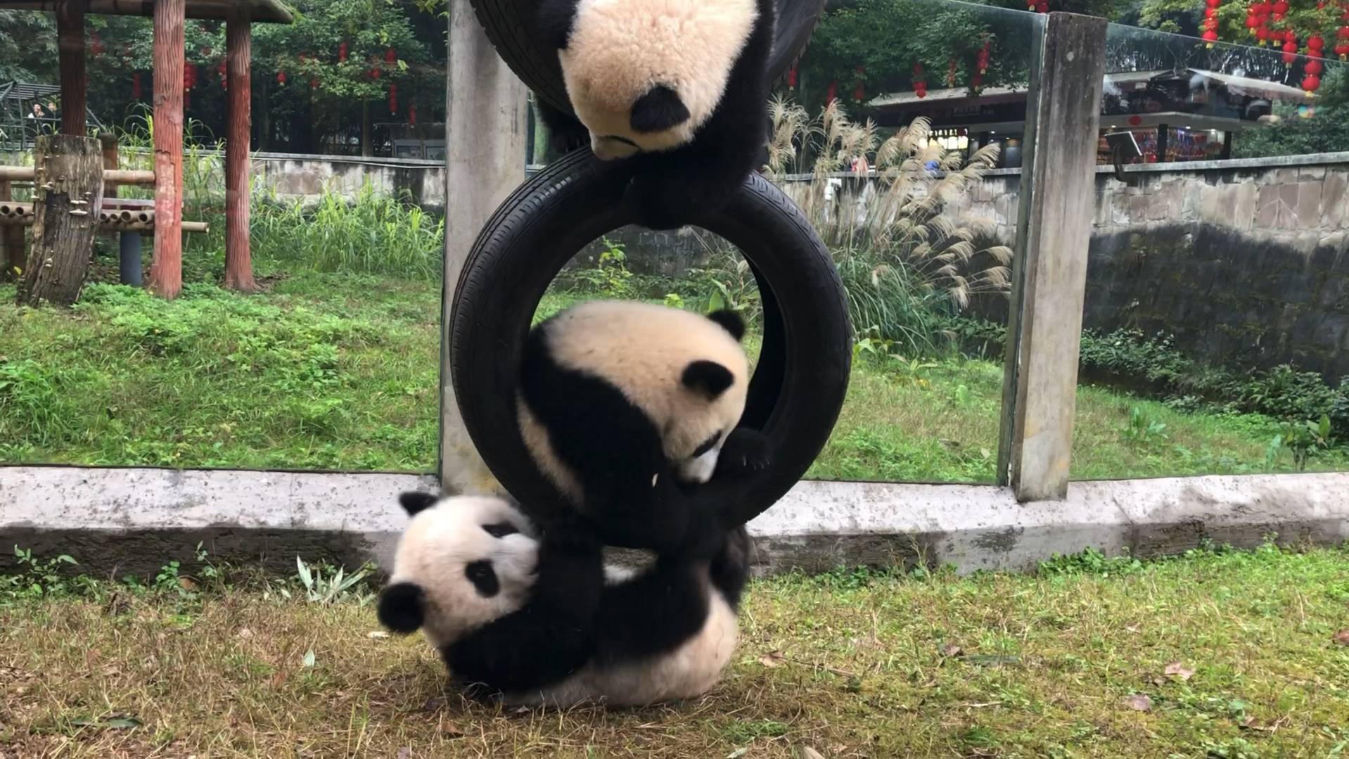 【熊猫团子】四小猪玩轮胎~