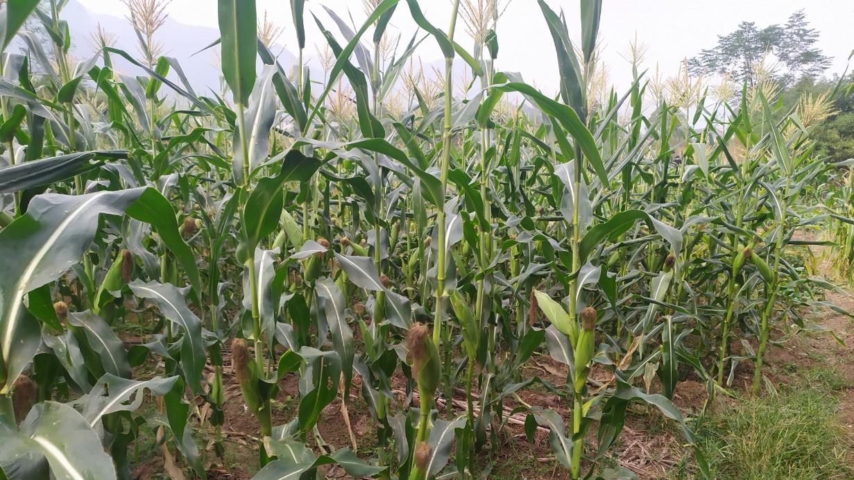 开荒玉米地准备播种