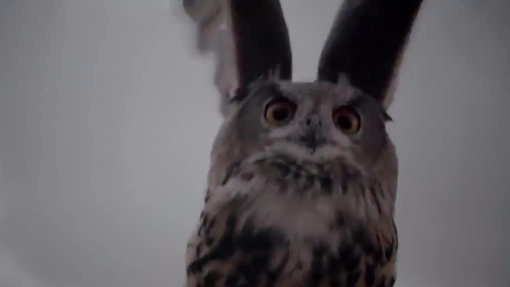 【今日傻鸮】暗夜死神猫头鹰,飞羽里隐藏了什么样的秘密呢?