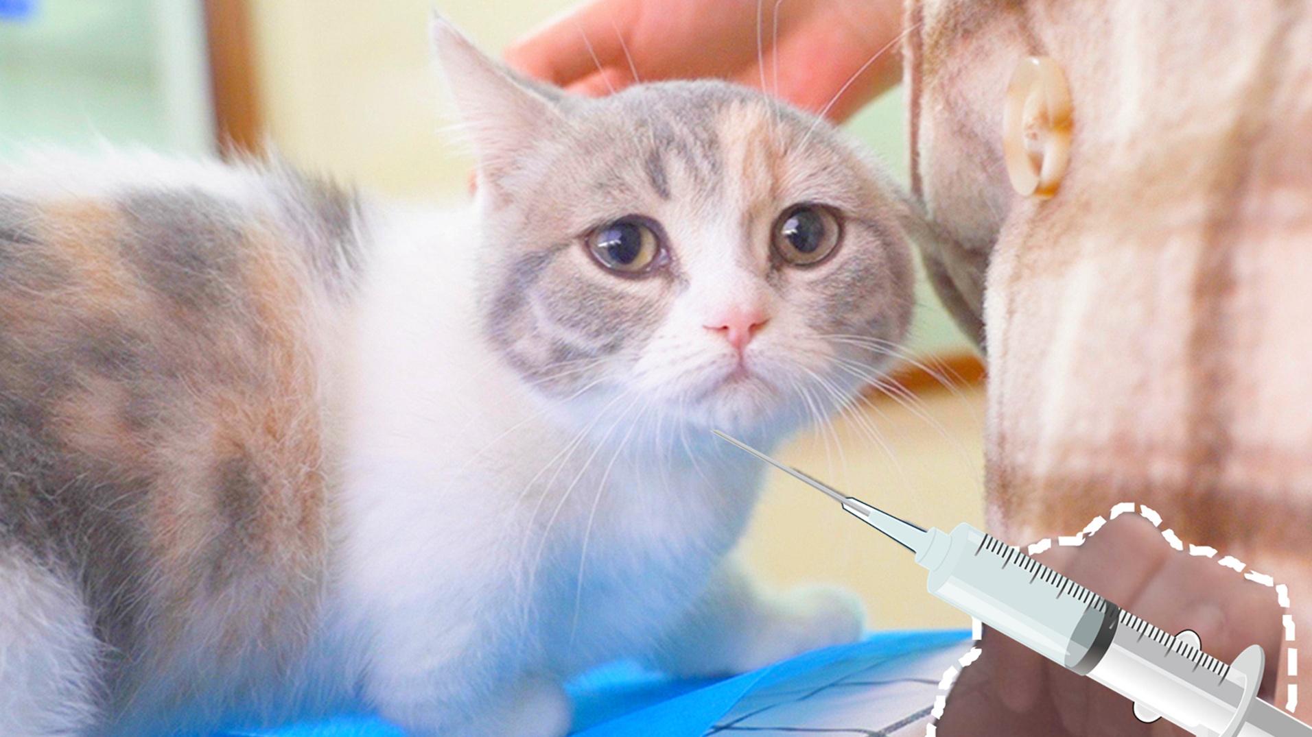 小猫打针怕疼,还没扎就大声哭喊,医生都懵了