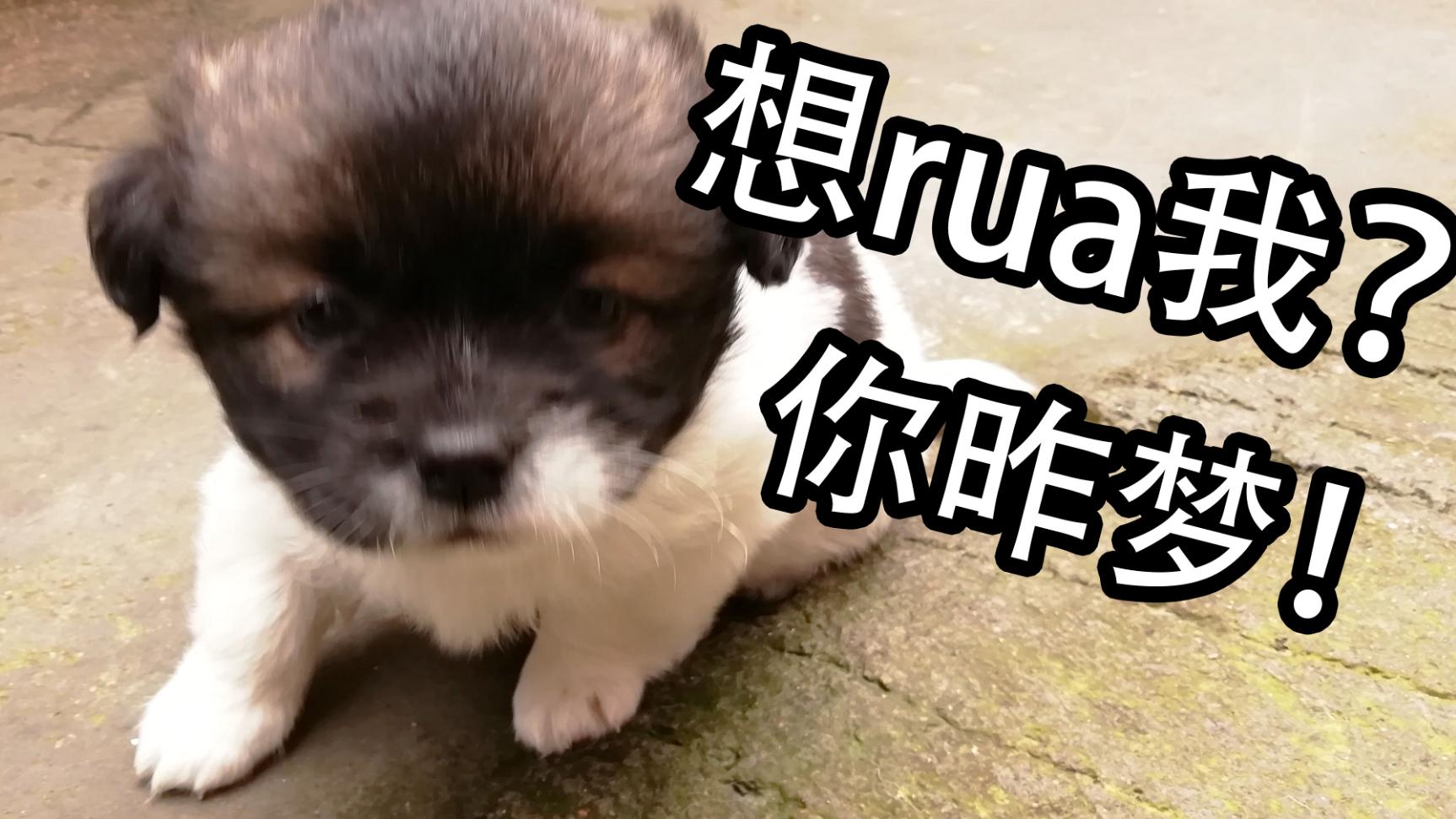 【中华田园犬】一个月大的小奶狗rua起起来是什么体验?