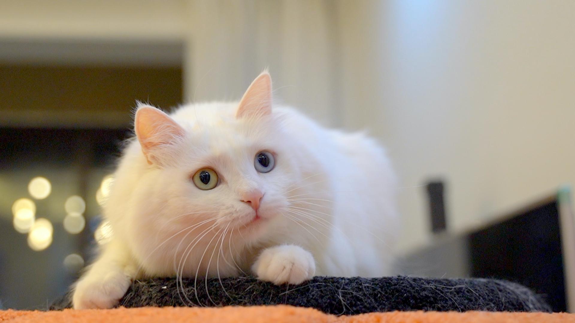 主人和仙女猫在家真实的一天,被猫咪按在沙发上疯狂踩奶,老婆怒了