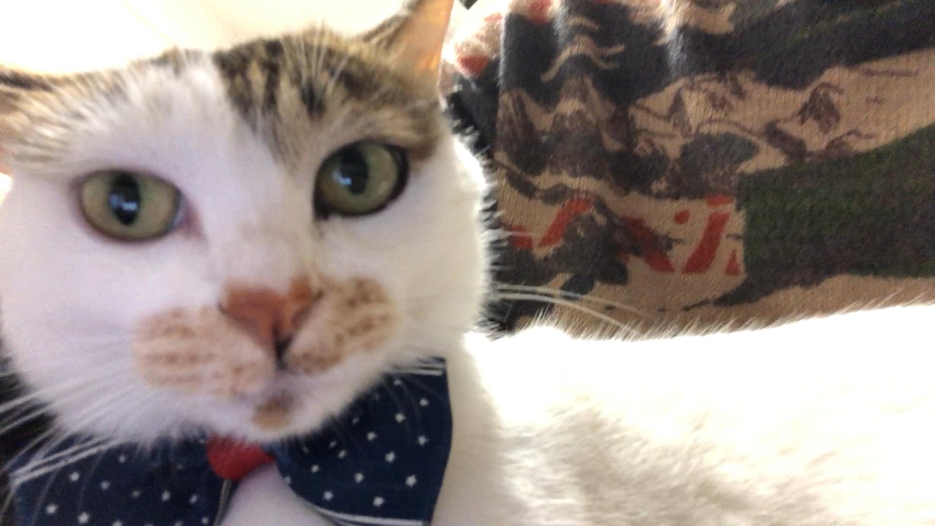 """我有一只会学狗叫的小猫咪,你家的猫有什么""""特异功能""""?"""