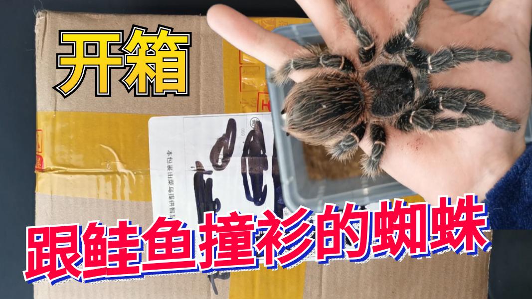 """【大良】开箱一只前""""世界第九大""""的蜘蛛,身体黢黑比我手掌都大!"""
