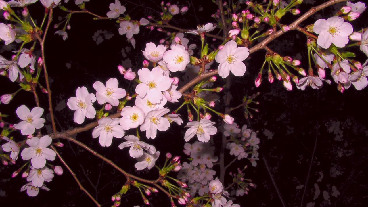 【东方自作ARRANGE】樱花缭绕【偶像に世界を委ねて】