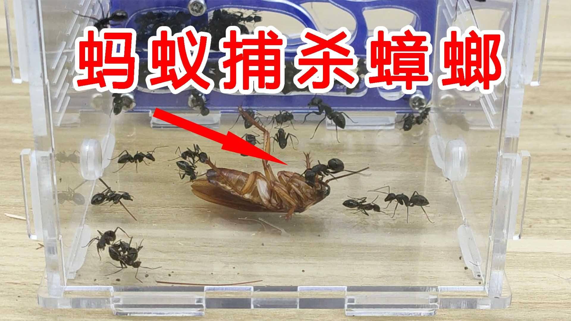 不可思议的攻击力!蚂蚁捕杀南方大蟑螂!