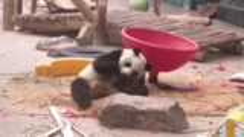 """【每日一滚】一字马 霸王举鼎……大熊猫的""""武功""""你见过吗?"""