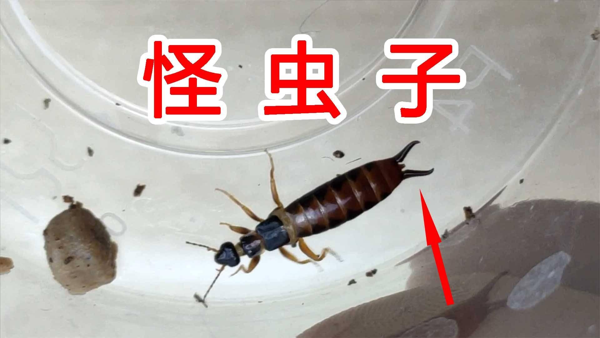 尾巴上长钳子的怪虫子!蠼螋!被它夹一下会很疼吗?