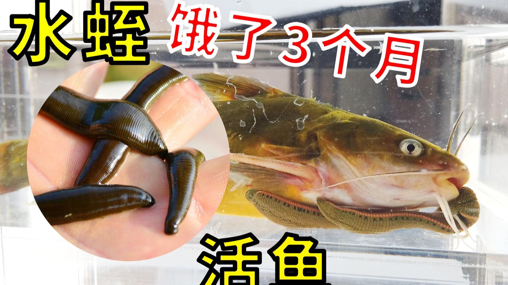 【实验】饿了3个月的水蛭VS活鱼,会发生什么神奇事情?