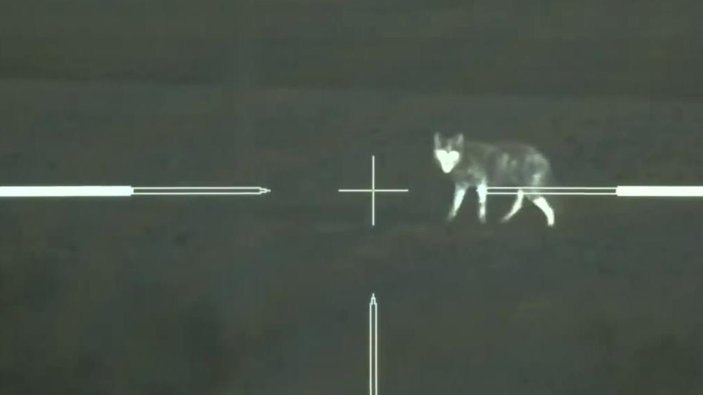 夜间猎杀,夜晚用夜视设备狙击危害牲畜的郊狼