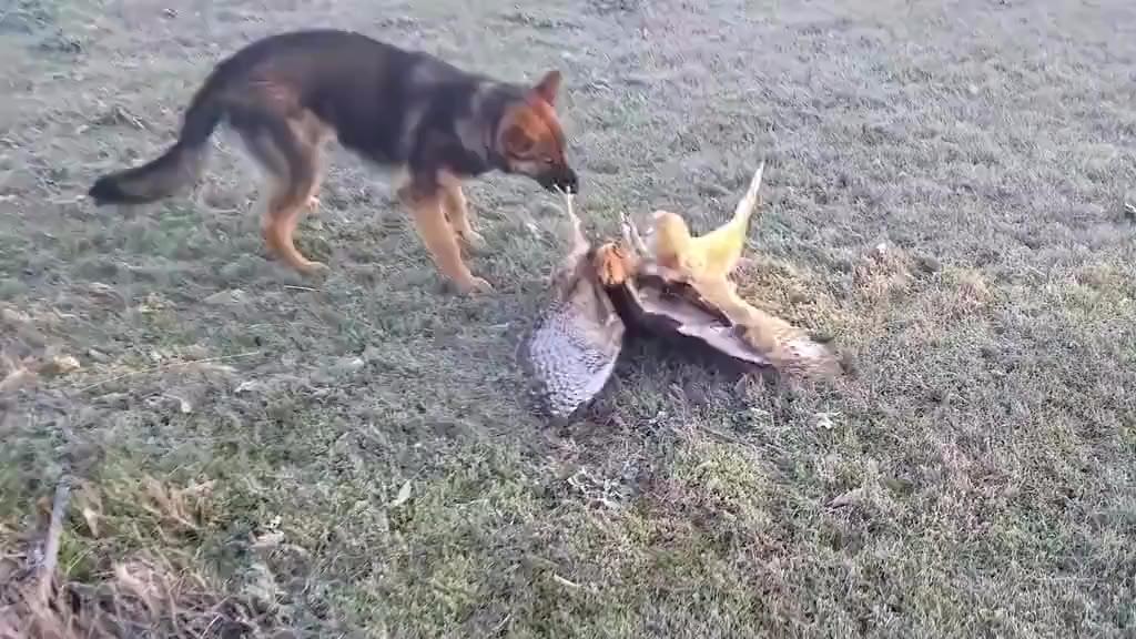 【今日傻鸮】 猫头鹰被老鹰攻击,狗狗看不惯,直接上去就是一口,镜头记录整个过程! 