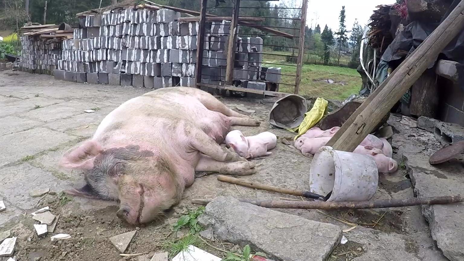 小猪猪睡觉