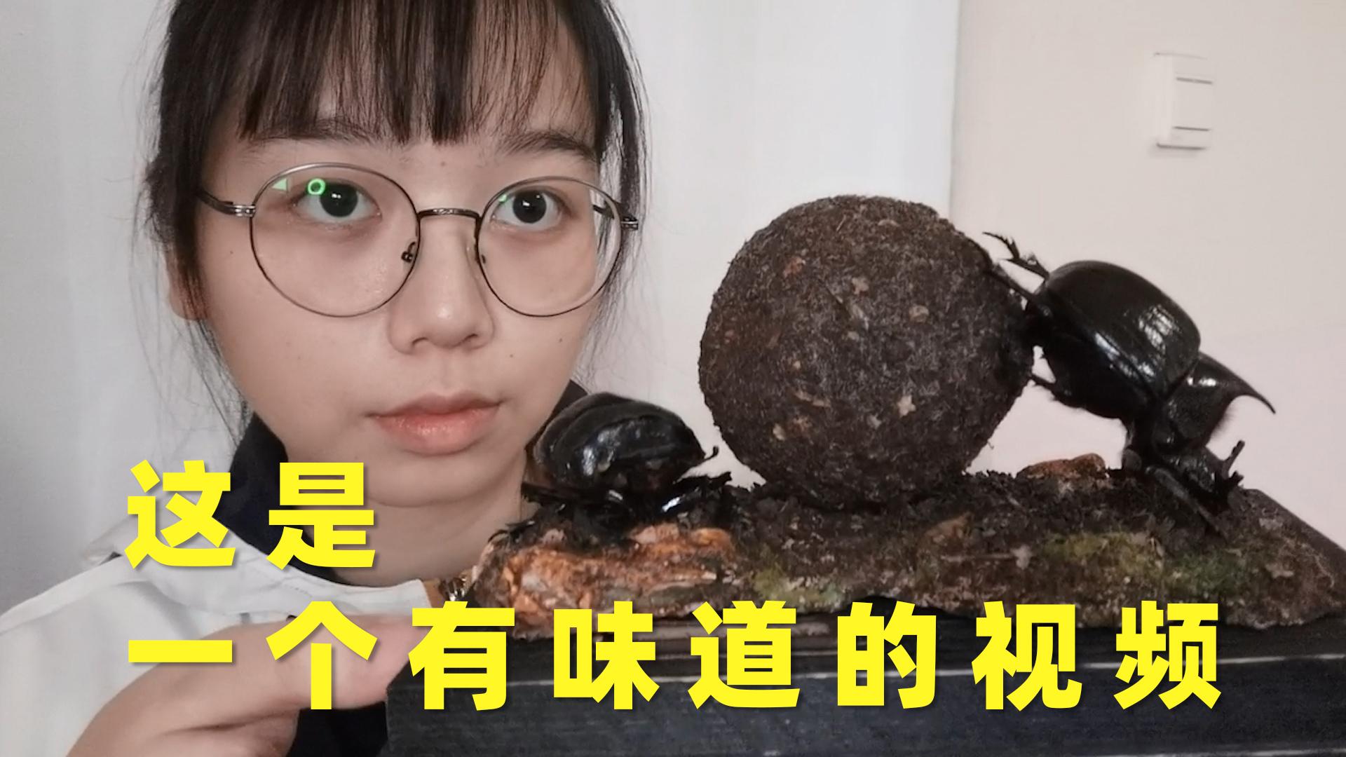 【A等生】【全民】制作世界上最大的屎壳郎的标本,所以这个球是……?