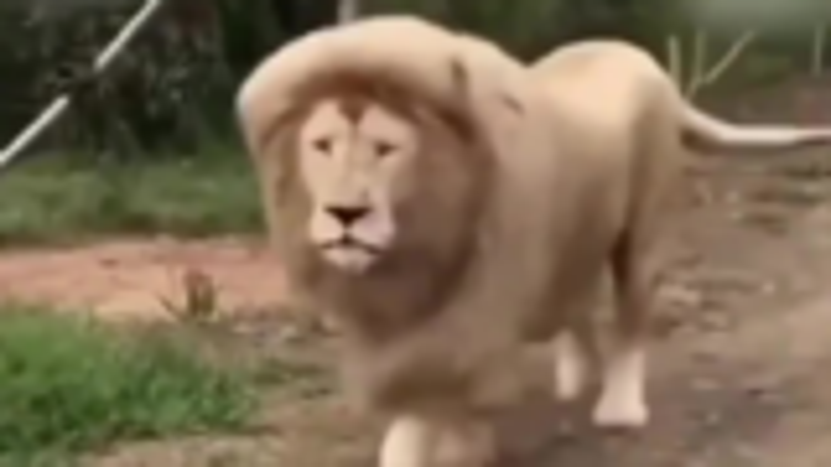 来自一头迪斯尼的狮子