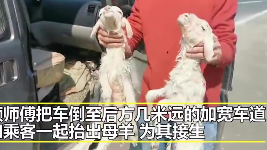 """#母羊杭州湾跨海大桥上生下两只小羊# 交警封闭车道""""协助""""生产"""