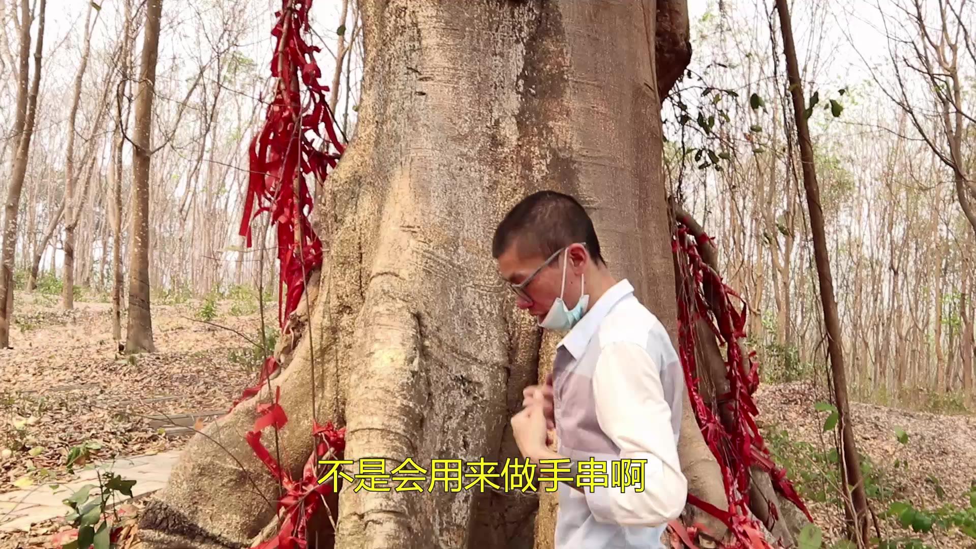 """传说2000多年前,佛祖在菩提树下修成正果,被称""""神圣之树"""""""
