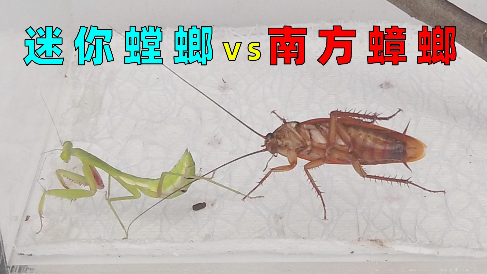 迷你小螳螂VS南方大蟑螂,这反应太真实了!