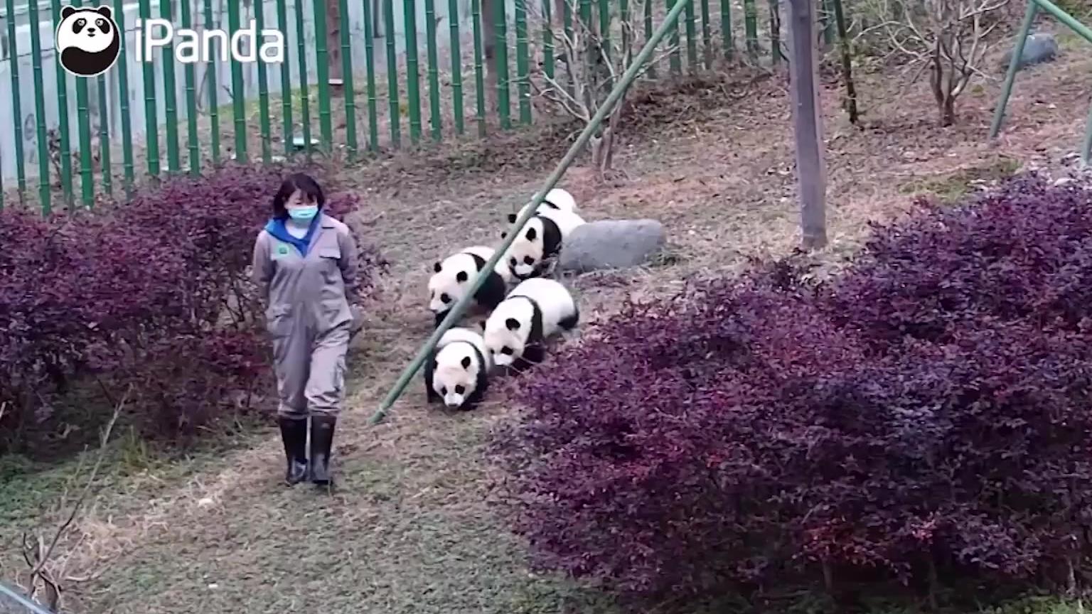 饲养员在前面走,后面跟着一群小胖哒