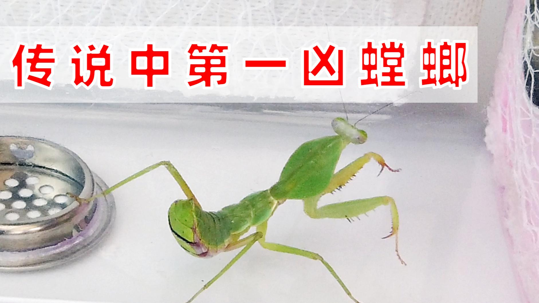 传说中第一凶螳螂开箱,真的那么厉害吗?