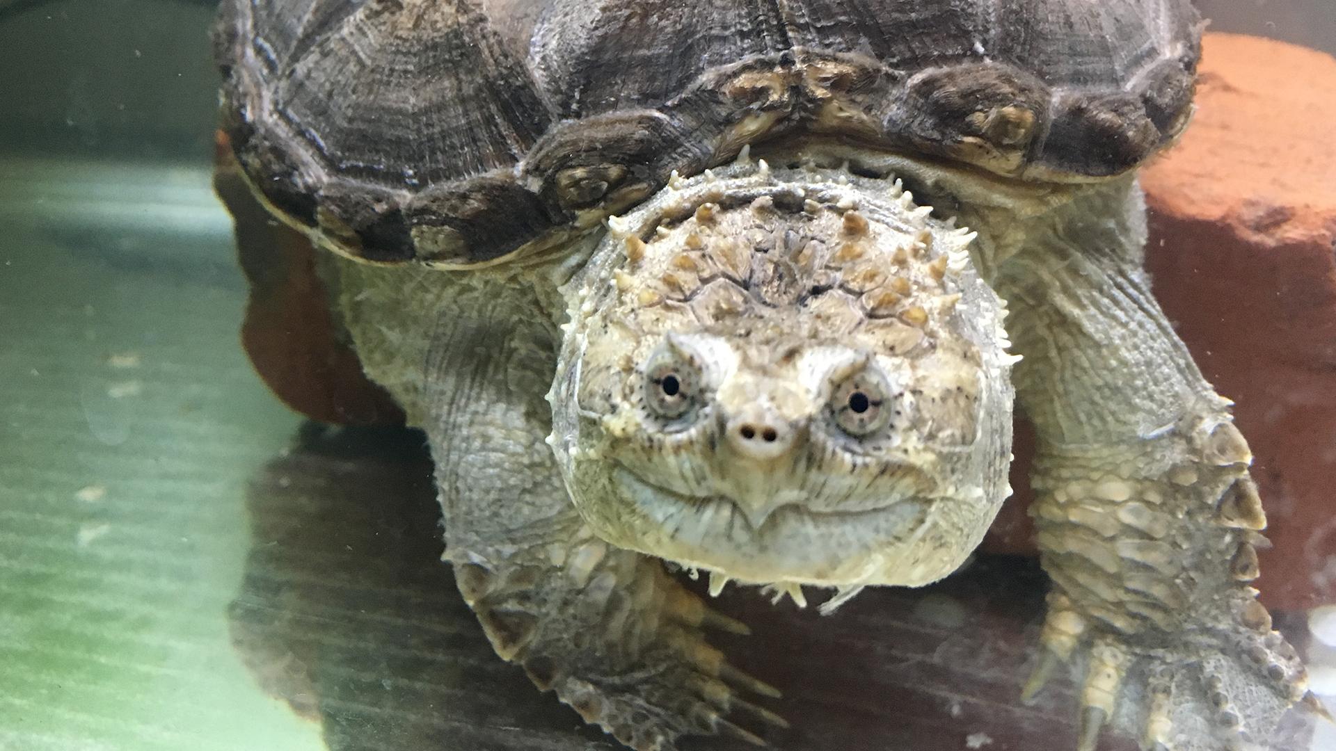 给佛鳄龟喂一只螃蟹看看