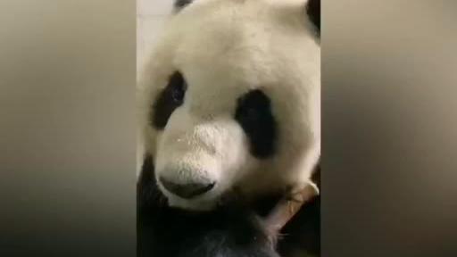 【每日一滚】定了!来鞍大熊猫选了这两只