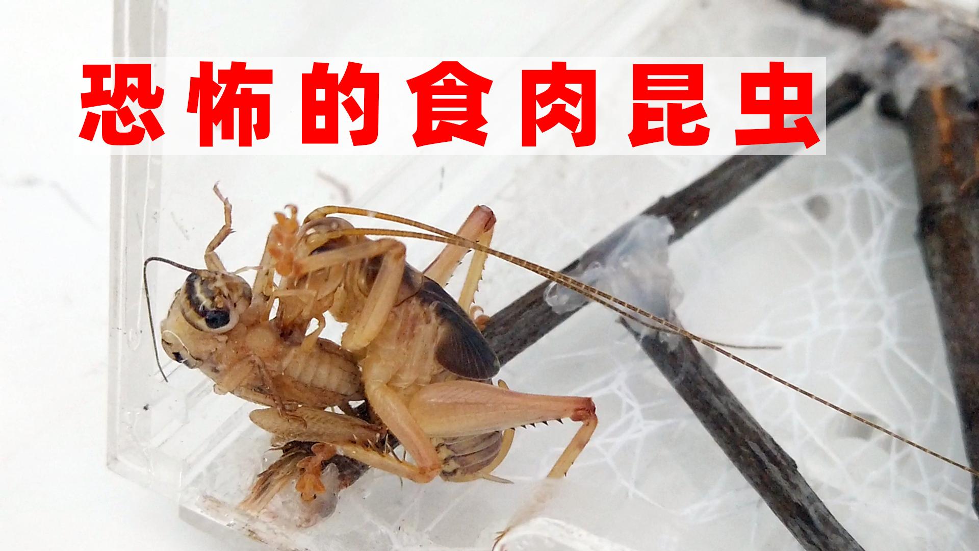 恐怖的食肉昆虫,大块吃肉,太凶了!