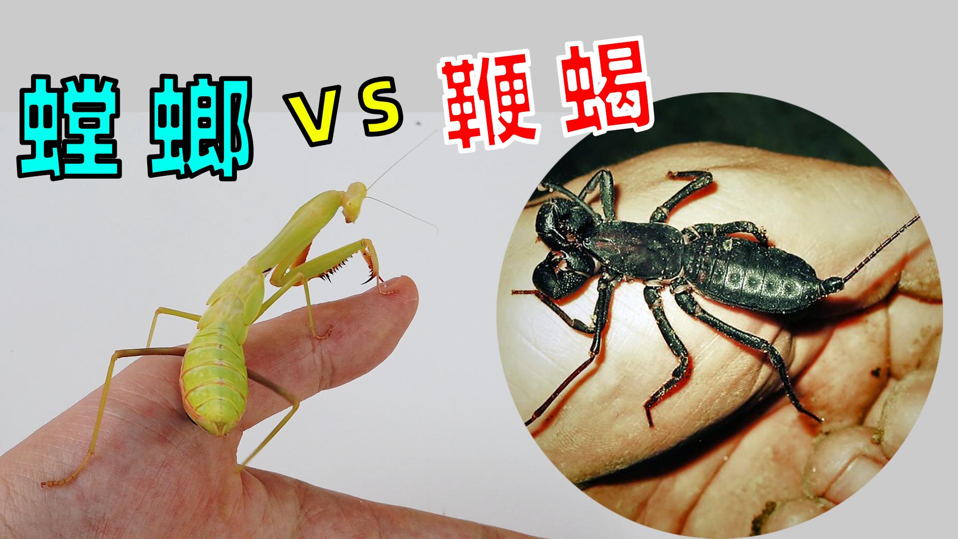 螳螂VS鞭蝎,战斗力太强了!