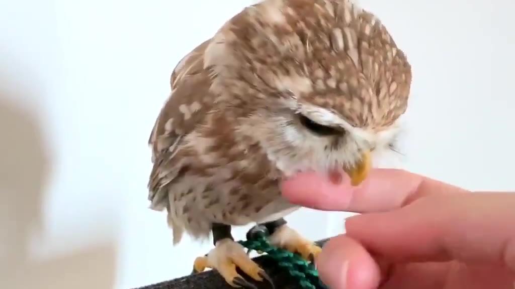 乖萌乖萌的小猫头鹰,像动画片里的小可爱