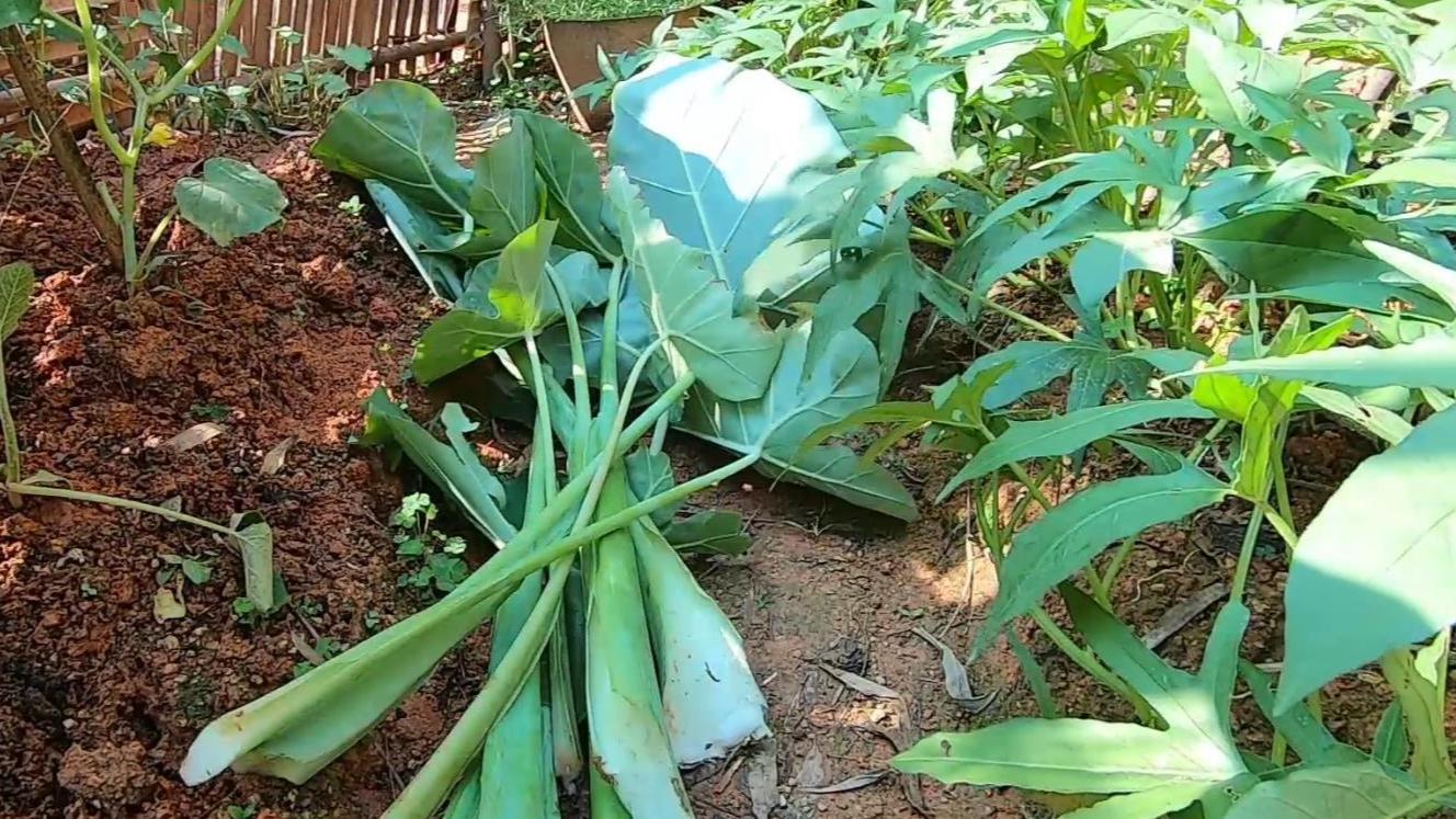 这种芋苗在农村很常见,可以直接摘来清炒,又香又脆比其它蔬菜好吃