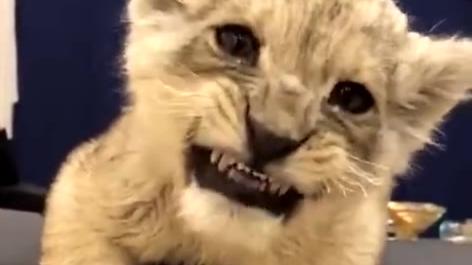 超凶的小狮子
