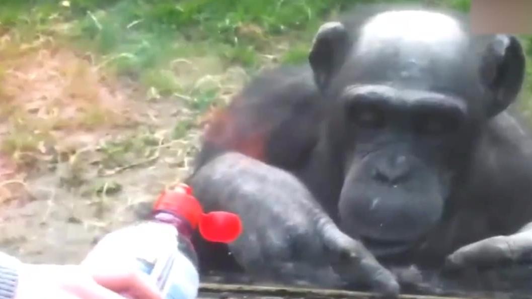 【出道616】当猩猩带着四川口音给你在线教学