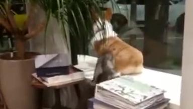 猫咪也抵挡不了柯基屁股的诱惑