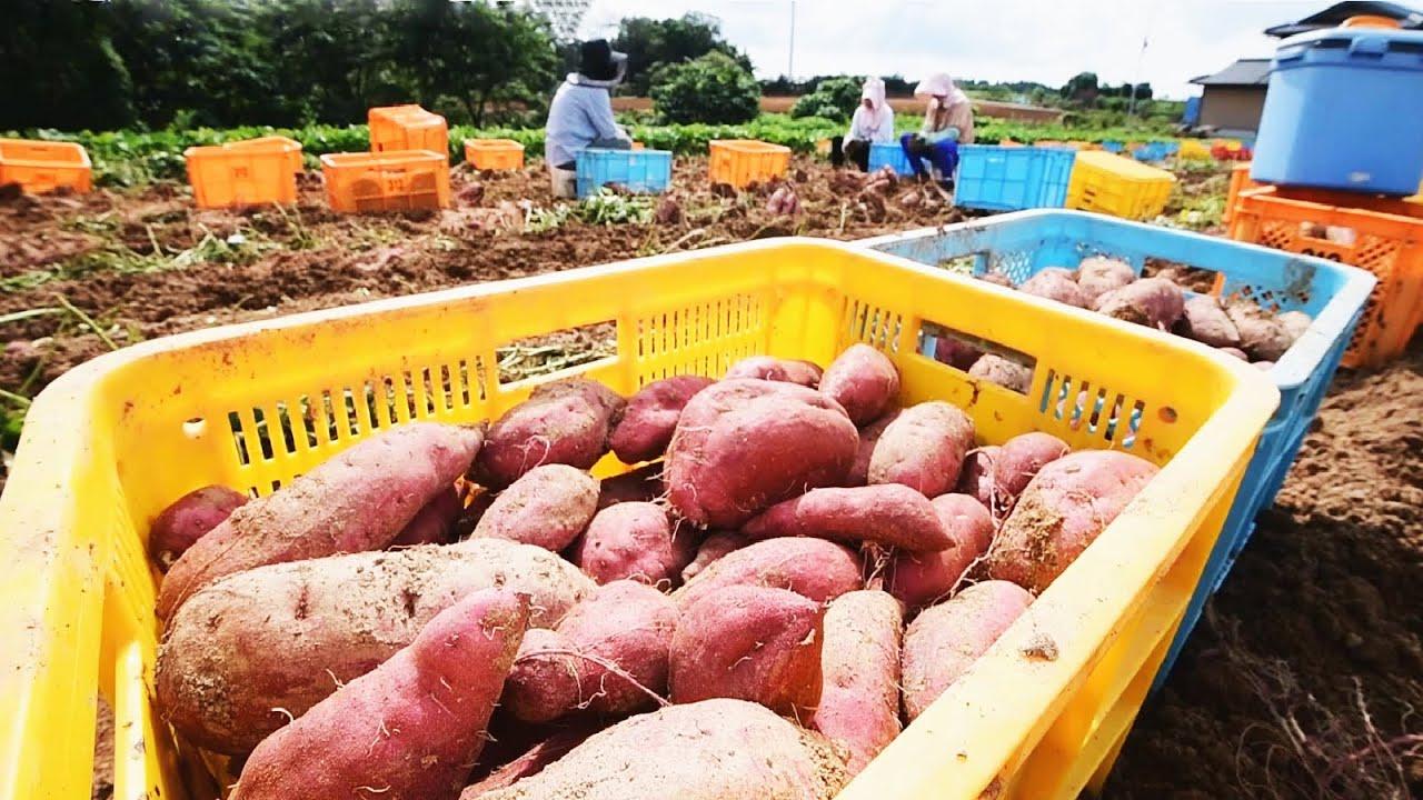当今日本农业机械化水平有多高?看看红薯收种过程,就知道了!