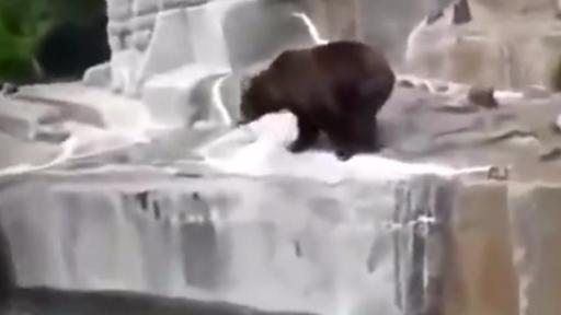 波兰华沙动物园,一个男人喝醉了以后跳进熊山,和熊厮打起来