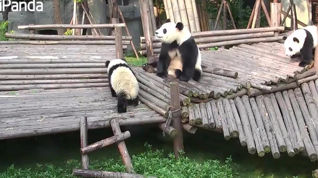 【每日一滚】熊妈表示这个锅不背