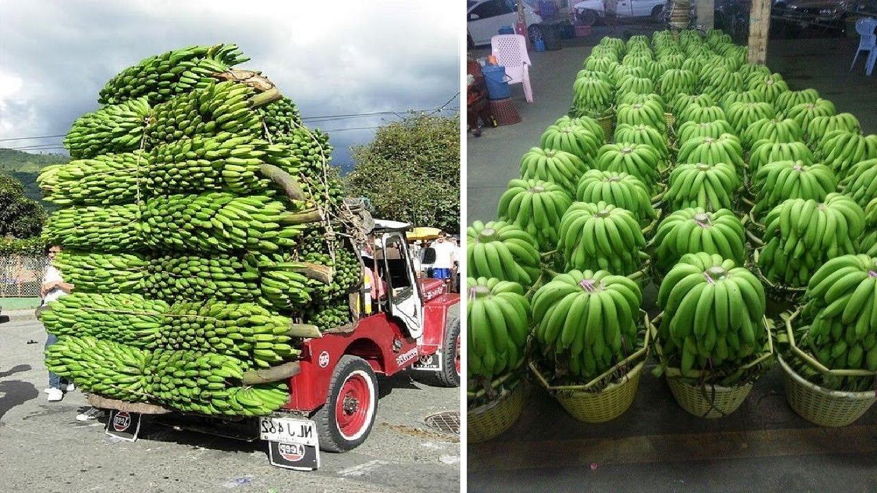 原来我们平时吃的香蕉是这样种植和收获的,香蕉种植和收获全过程!