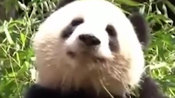 熊猫真的是集可爱、蠢萌、沙雕为一体的迷人生物