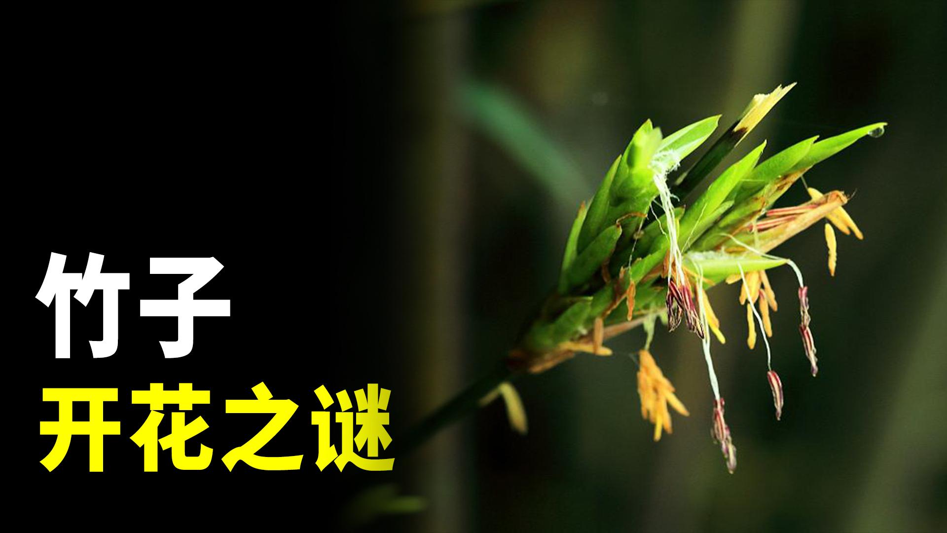 竹子开花是不祥的征兆?竹子开花之谜了解一下