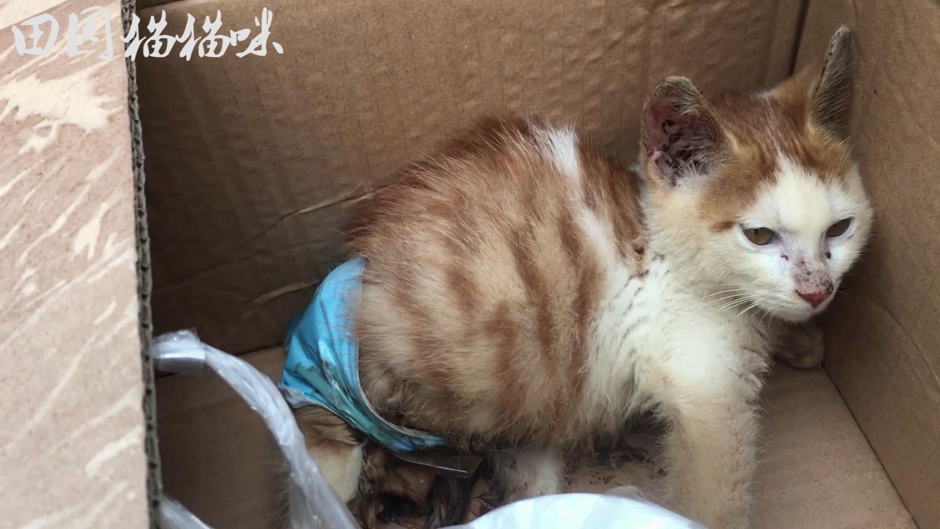 这么可爱的小猫被车碾压了双腿,导致下半身皮肤全部腐烂坏死